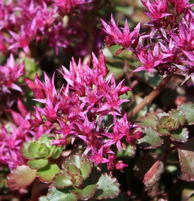 Rozchodnik kaukazsky ruzovy kvet